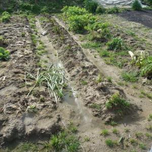 今日はジャガイモ掘り