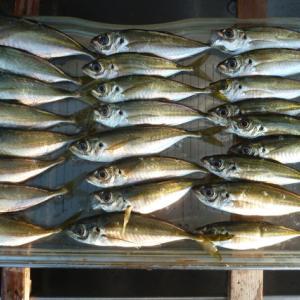 第11回アジ釣り、今年は小さい・・・