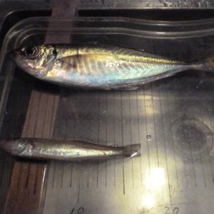 32回目アジ釣り・33回目キス釣り、ようやく尺アジが!でも・・・
