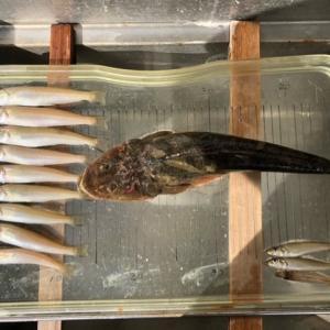 30回目キス釣り、キスは今一でしたが今年初めてのマゴチが