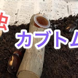 カブトムシを幼虫から育てる!幼虫の育て方