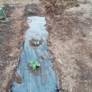 ひたちなか市旅⑤マルチ張り&さつま芋植え。