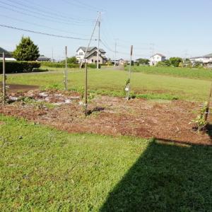 ひたちなか市旅⑲生垣兼ねてミカンの木を植えました。