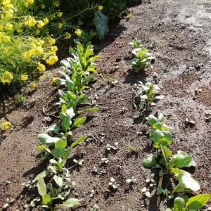 去年の種ほうれん草、小松菜の芽がでました・ひたちなか市旅(140)