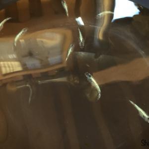 黒ラメ体外光 若魚