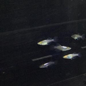 皇扇 若魚
