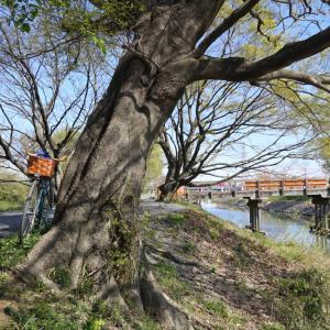 悲しき桜橋