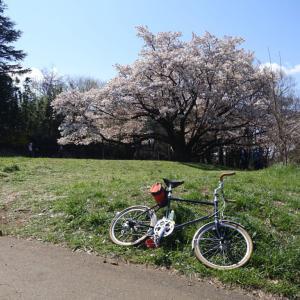 中峯一本桜を見に行った