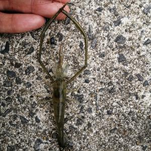 霞ヶ浦でテナガエビをたくさん釣るにはコツがいる