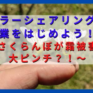 さくらんぼが霜被害で大ピンチ!?雌しべが枯死し実がならないかも?!