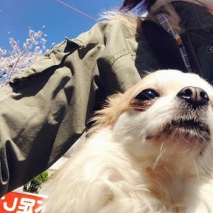 大阪城公園の桜が満開🌸