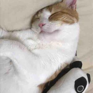 【我が家のにゃんこ】疲れた時はきな子(猫)を吸うに限る…