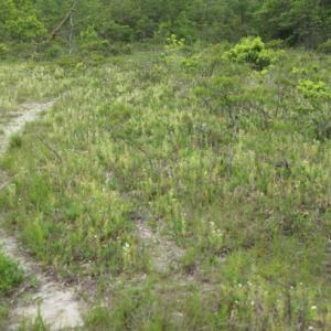 日本産唯一の球根ドロセラ、イシモチソウ (Drosera lunata)