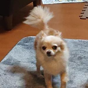 愛犬チワワとの暮らし