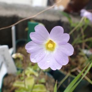 初心者向けムシトリスミレ P. primuriflora