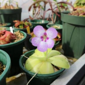 多肉植物である食虫植物?メキピンはもっと人気出ても良いと思う!