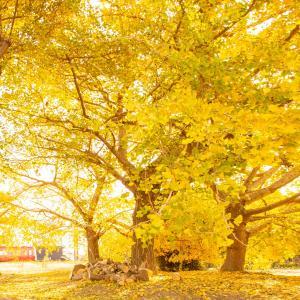 名鉄沿線の秋 そぶえイチョウ