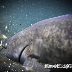 酒匂川水系魚類調査