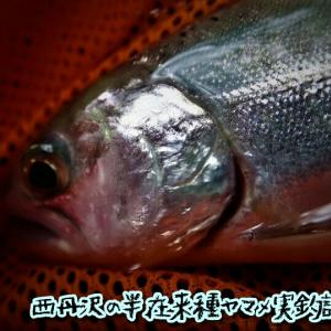 西丹沢の半在来種ヤマメ実釣調査