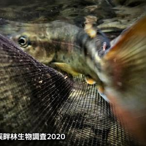 丹沢渓畔林生物調査2020