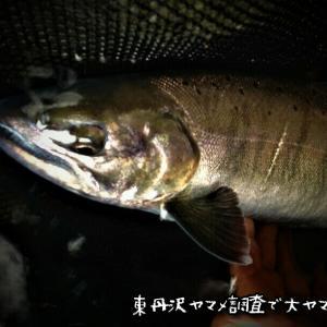 東丹沢禁漁前最終日&ヤマメ調査