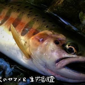 西丹沢のヤマメ&生物調査