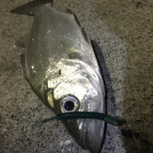 釣り部61 1月はライトゲームの季節だね!プラグで!アジングで!色々考えて釣る釣りこそ「釣り」!~大井川港編~