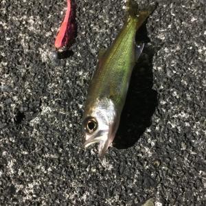 釣り部84 魚が消えた!しょうがないので深夜にひっそりライトゲーム(in焼津港)