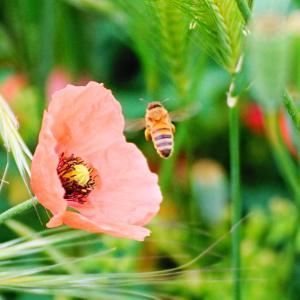 「ナガミヒナゲシと蜂さん」の巻