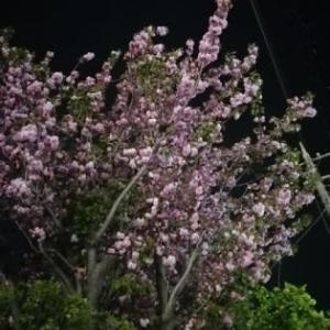 ナイトランニング☆夜桜に、にっこり(^^♪