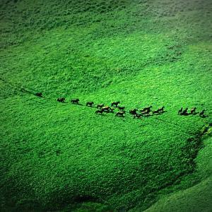 ユルリ島野生馬