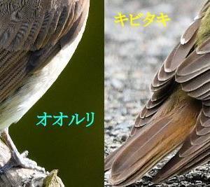 オオルリとキビタキのメスの比較(身体編)~キビタキ~