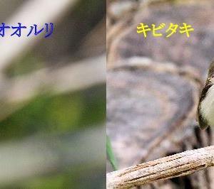 オオルリとキビタキ メスの比較(全身編:正面)~オオルリ~