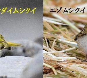 センダイムシクイとエゾムシクイの比較(全身編:正面)~エゾムシクイ~