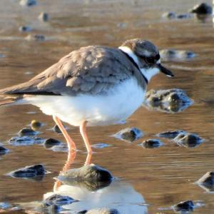 川島の鳥たち