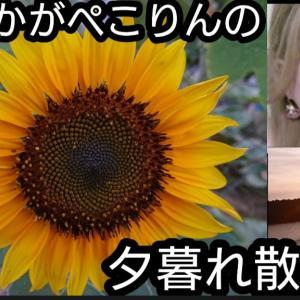 【散歩動画あり】おなかがぺこりんの夏夕暮れ散歩~