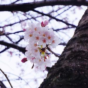 桜 2016 七分咲き(曇り空) No.3