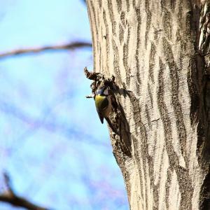 鳥を撮りに散歩いきました。No.11 (初めてなので中望遠で練習!)  シジュウカラ