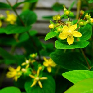 春(初夏)の花。 オトギリソウ?とハギ? おまけ(モッコウバラ)
