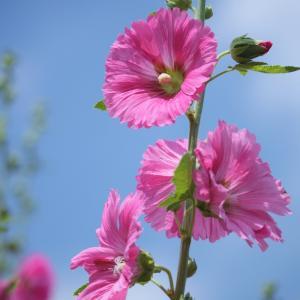 タチアオイ 初夏の花
