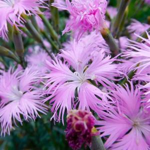ナデシコ、アリウムなど 初夏の花。