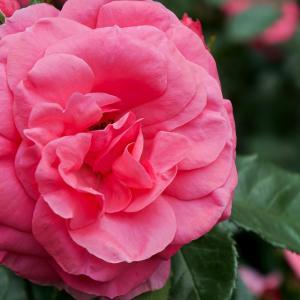濃いピンクのバラ 2016