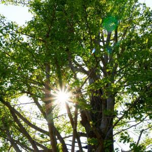 銀杏と太陽 2020 春