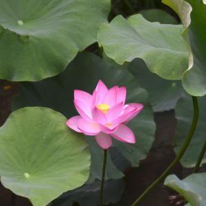 大賀蓮が咲いた 我が家の小さな池に No2