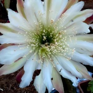 満月の朝の サボテンの花