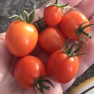 ミニトマト忘れてました!
