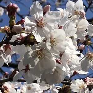 東本願寺前 🌸桜林と蓮噴水