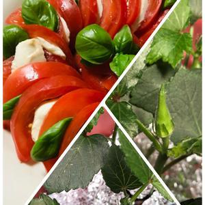ステイホーム 家庭菜園‼ GWに植えたオクラに数個の実が付きました。