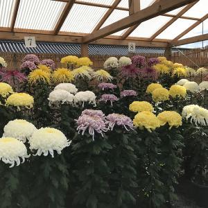本願寺献菊展2020 今年も西本願寺参拝後、献菊展を観せていただきました。