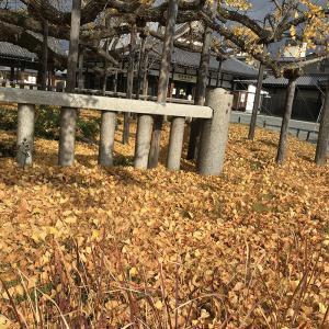 西本願寺の大銀杏の葉が落ちてフカフカのじゅうたんが出来ています。先週、12月4日と8日に撮影しました。興味おありでしたらブログに鐘楼と阿弥陀堂門も載せてます。